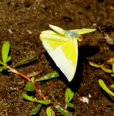 statura sulphur butterfly with wings open